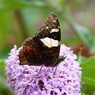 Yellow Admiral 1 by Trish Meyer