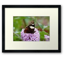 Yellow Admiral 1 Framed Print