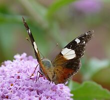 Yellow Admiral 2 by Trish Meyer