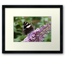 Yellow Admiral 3 Framed Print
