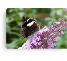 Yellow Admiral 3 Canvas Print