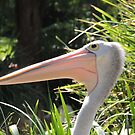 Pelican Portrait by ScenerybyDesign