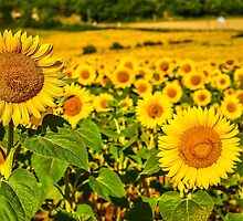 Sunflowers by TonyPriestley