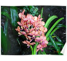Orchids - Garden of the Sleeping Giant, Fiji. Poster