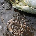AMMONITE by NorthernWitch