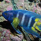 Eastern Blue Devil off Sydney by Erik Schlogl