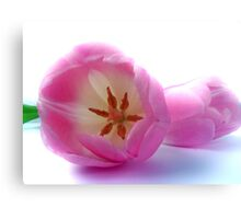 pink tulips close up and personal Canvas Print
