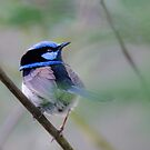 Blue Wren by Mick Kupresanin