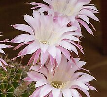 scenic flower of a cactus plant by spetenfia