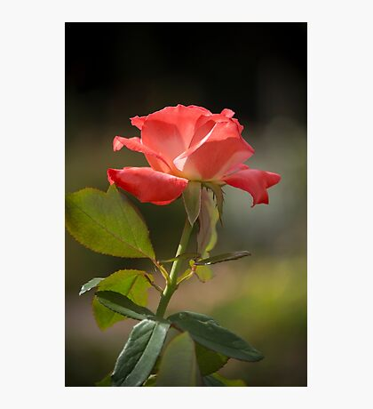 Simple Rose Photographic Print