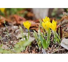 yellow colchicum autumnal Photographic Print