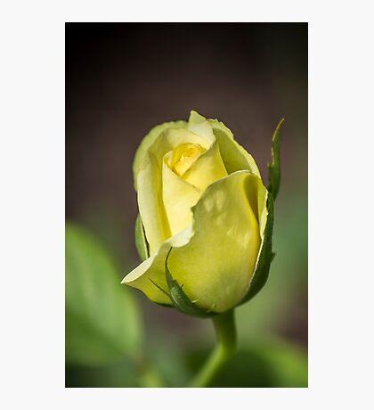 Yellow Rose Bud Photographic Print