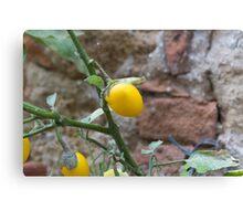 yellow chili Canvas Print