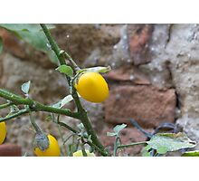 yellow chili Photographic Print
