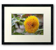 yellow peony Framed Print
