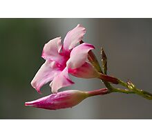 pink flower in the garden Photographic Print