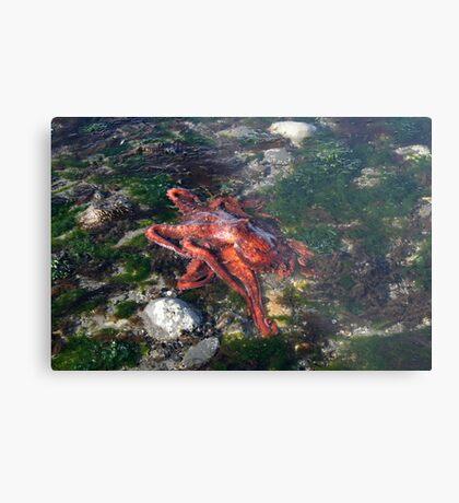 Tidepool Octopus Homer, Alaska Metal Print