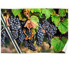Ripe Grapes Poster