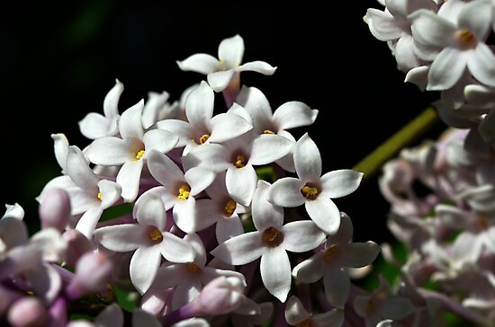 Pretty Lilac by Tracy Deptuck