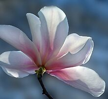 Star magnolia - 2014 by cclaude