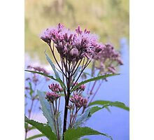 Spotted Joe Pye Weed Photographic Print