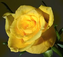Yellow Rose At Night. by Terence Davis