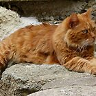 Corsican Cat by Trish Meyer