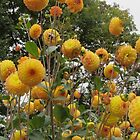 Dancing balls - small yellow dahlias by bubblehex08