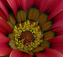 Gazania Gazing (2) = Up Close by Larry Lingard-Davis