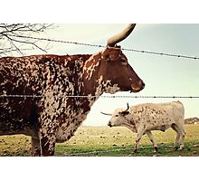 Texas Longhorn Cattle Photographic Print