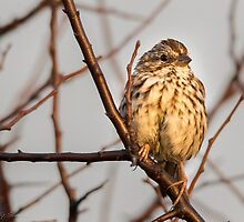 Song Sparrow by SandraNightski