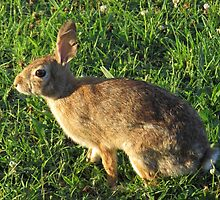 Hare - 5883 by photroen