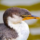 Little Pied Cormorant by Peter Krause