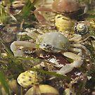 Smooth pebble crab (Bellidilia laevis) - Strawbridge Point, Kangaroo Island, South Australia by Dan & Emma Monceaux