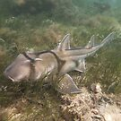 Port Jackson shark (Heterodontus portusjacksoni) - Port Noarlunga, South Australia by Dan & Emma Monceaux