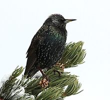 Starling In The Snow by Lori Peters