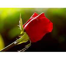 one rose, one love, one heart Photographic Print