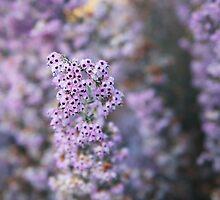 Purple Broom Reed by SammyPhoto