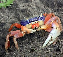 LAND CRAB by TomBaumker