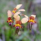 Donkey Orchids at Yallingup Western Australia. by Leonie Mac Lean