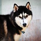 Street Dogs of Asia Series - Melacca Malaysia - Husky by designedbyn