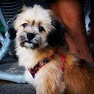 Street Dogs of Asia Series - Bangkok Thailand - Silky Terrier x Shih Tzu by designedbyn