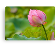 colorful lotus Canvas Print