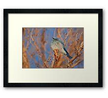 Mountain Bluebird Framed Print
