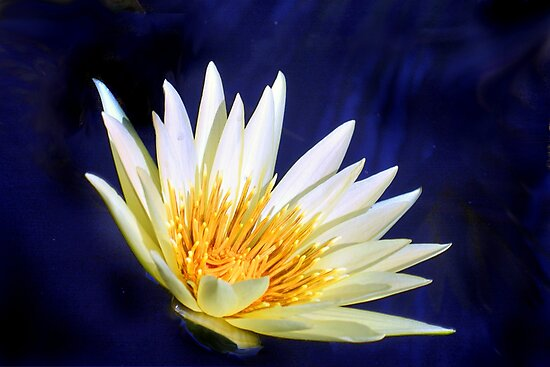 Water Lily - White with Yellow by cclaude