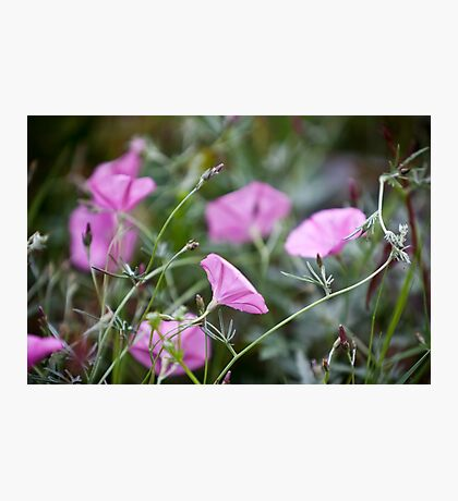 Pink Bindweeds in a field Photographic Print