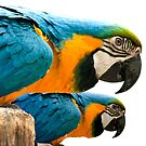Blue yellow Macaws. by imagic
