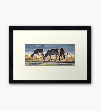 More Deer at Tatton Framed Print