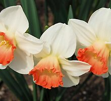 Three White Daffodils with Orange by Kathleen Brant
