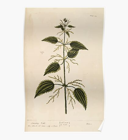 A curious herbal Elisabeth Blackwell John Norse Samuel Harding 1737 0042 Stinging Nettle Poster
